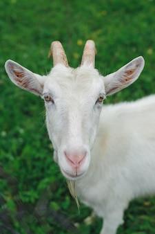 Chèvre blanche sur pelouse