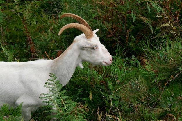 Chèvre blanche