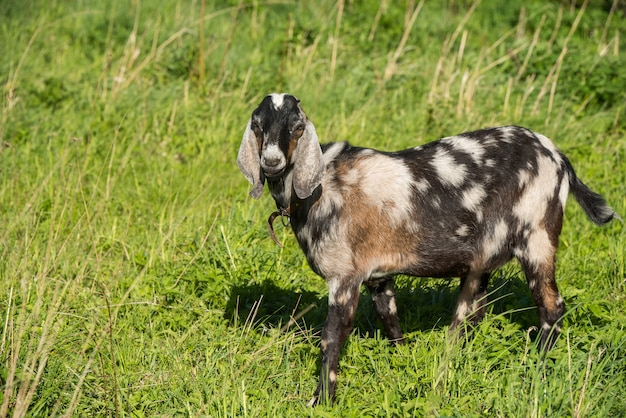 Chèvre boer sud-africaine dans la nature