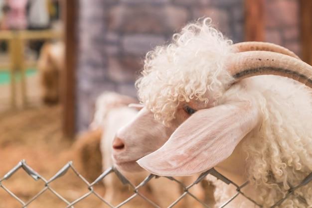 Chèvre de la bolivie en ferme