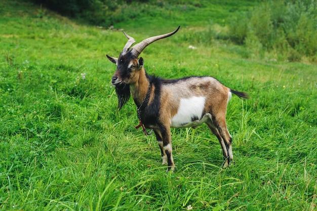 Chèvre brune sur pelouse