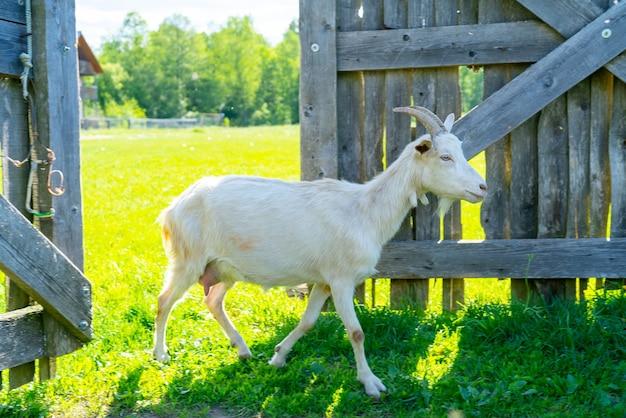 Une chèvre de compagnie entre dans la porte en bois. animaux à la ferme.