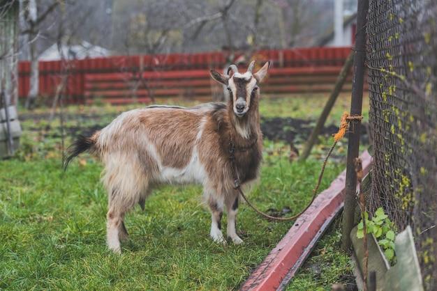 Chèvre cordée à la ferme
