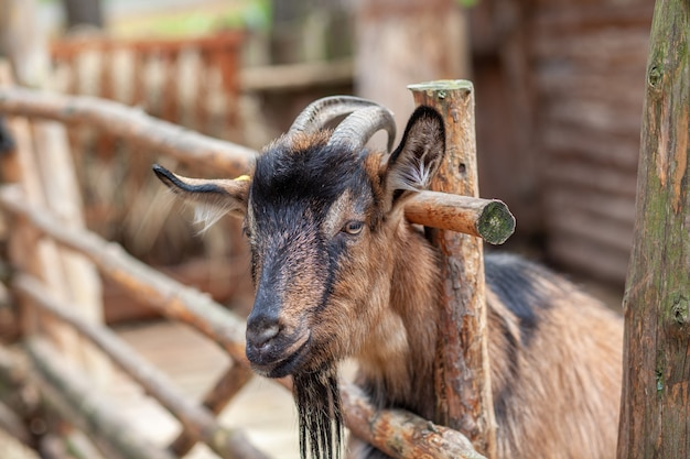 Une chèvre à cornes regarde à travers une clôture en bois. l'animal mendie de la nourriture aux visiteurs. coin rural.