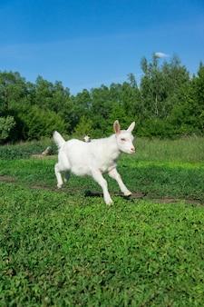 Chèvre dans un champ de blé