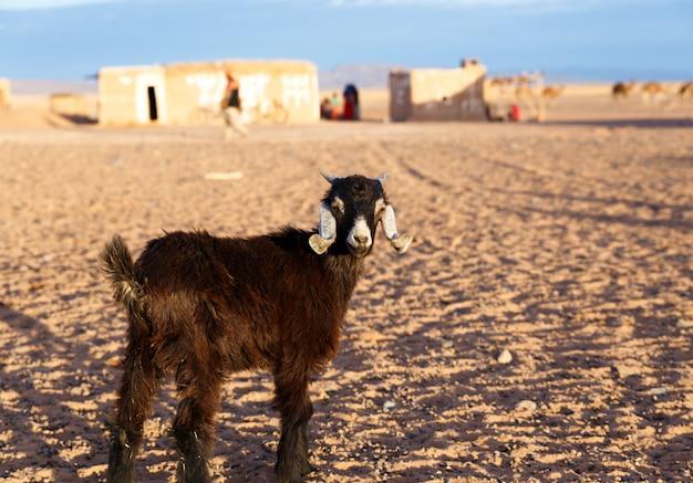 Chèvre dans le désert du sahara