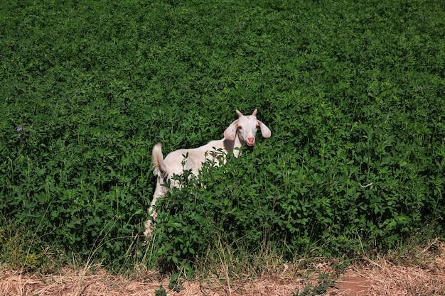 La chèvre dans le petit village sur le nil près de khartoum au soudan