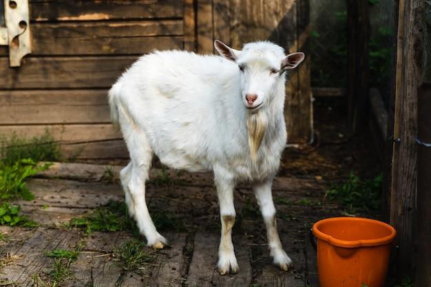 La chèvre domestique blanche se tient dans l'enclos à la ferme. concept de ferme traditionnelle