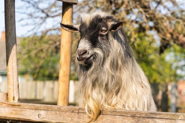 Chèvre domestique grise se tient derrière une clôture dans une ferme dans une zone rurale