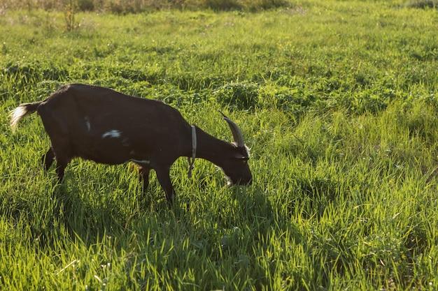 Chèvre domestique noire mangeant de l'herbe