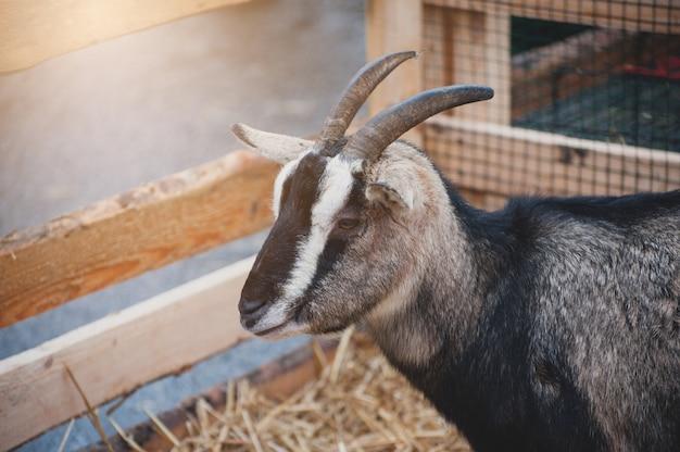 Chèvre à la ferme sur le paddock en bois au coucher du soleil