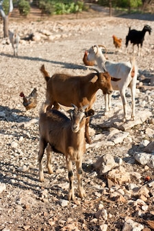 Chèvre à la ferme