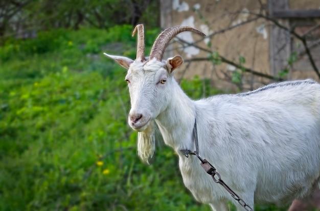 Chèvre sur le green