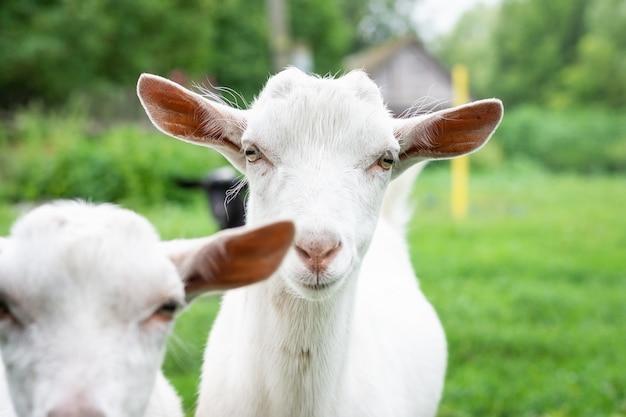Chèvre sur l'herbe