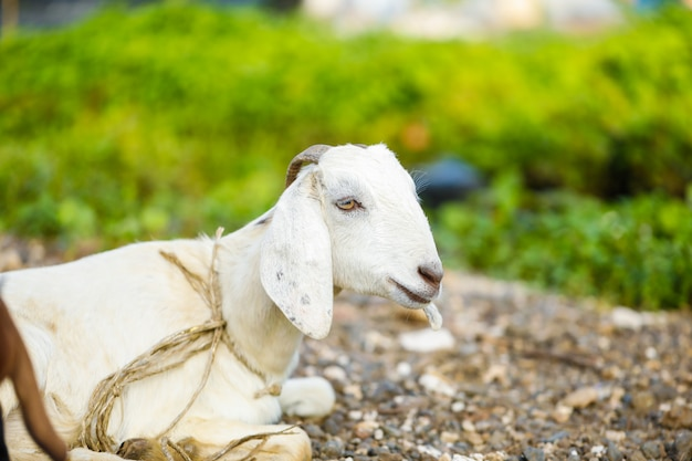Chèvre indienne au champ, inde rurale.
