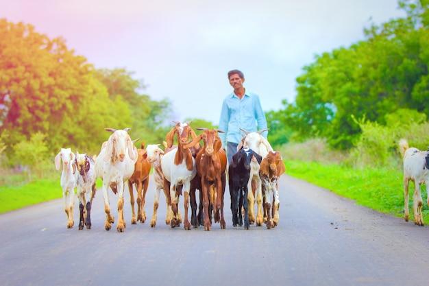 Chèvre indienne au champ