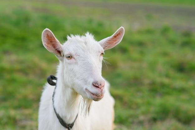 Chèvre joyeuse drôle broutant sur une pelouse herbeuse verte. bouchent le portrait d'une chèvre drôle. animaux de ferme. la chèvre regarde la caméra.