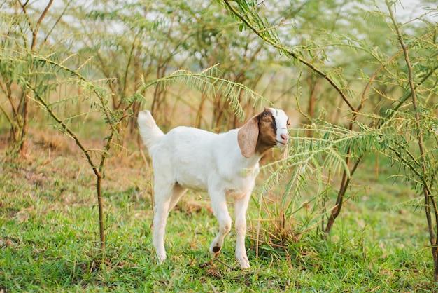 Chèvre mange de l'herbe dans le pré vert