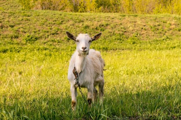 La chèvre mange de l'herbe haute et juteuse
