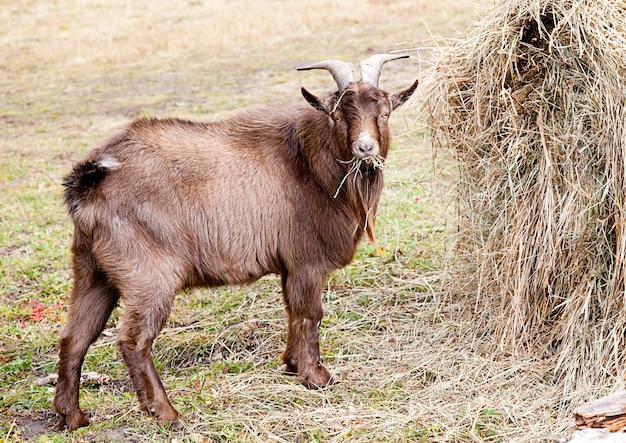 Chèvre mangeant du foin en automne