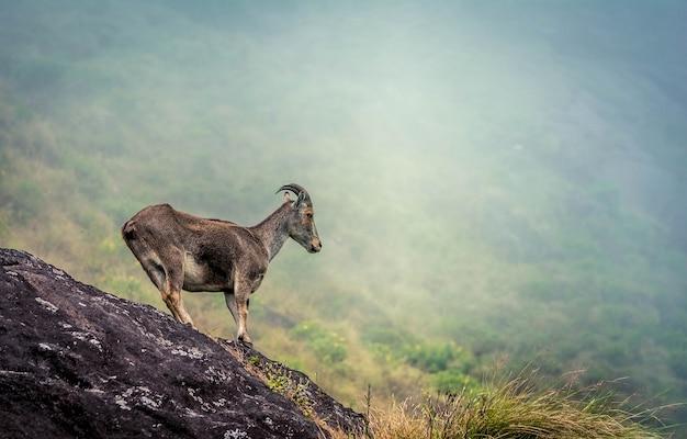 Chèvre de montagne au parc national d'eravikulam en inde