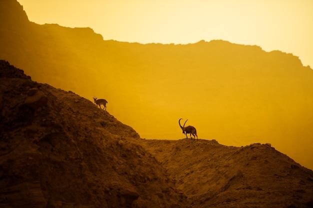 Une chèvre de montagne sur les pentes d'une montagne dans le désert israélien.