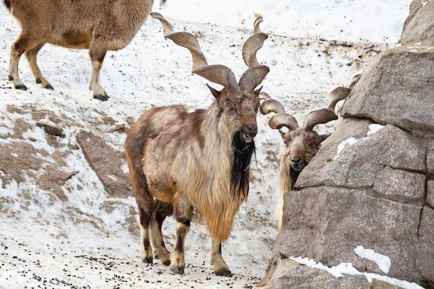 La chèvre de montagne se dresse sur un rocher et regarde au loin sur un fond de montagne rocheuse. grandes et longues belles cornes.