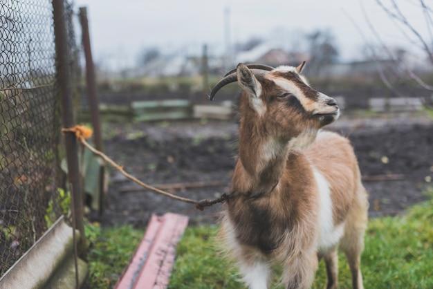 Chèvre de pâturage liée sur l'herbe