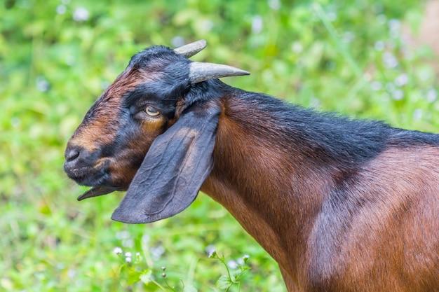 Chèvre sur les pâturages d'été à la lumière du matin