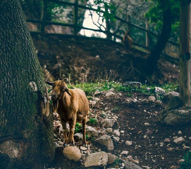 Une chèvre à la recherche de nourriture dans un bois