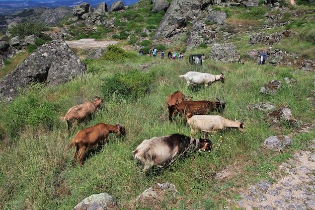 La chèvre sur les roches de monsanto au portugal