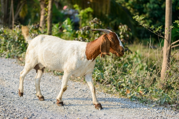 Chèvre sur la route