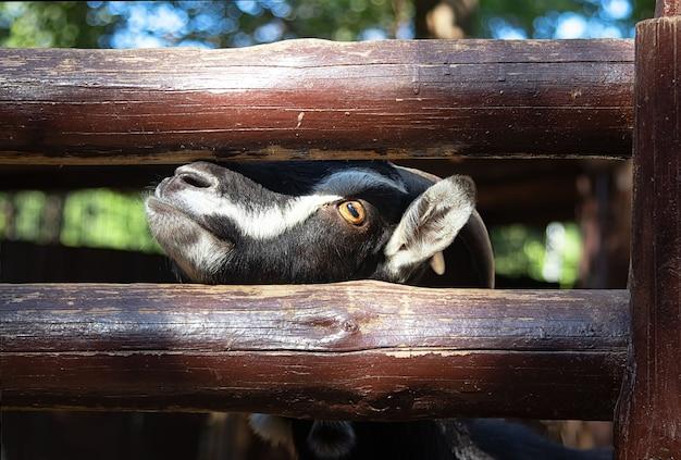 Chèvre se tient près d'une clôture en bois, demande de la nourriture