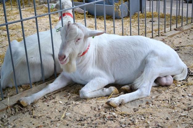 Chèvre se trouve dans la stalle chèvre blanche se trouvant à la stalle de ferme