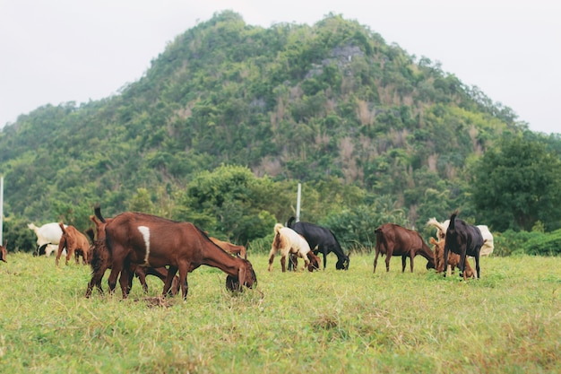 Chèvre et vache en montagne
