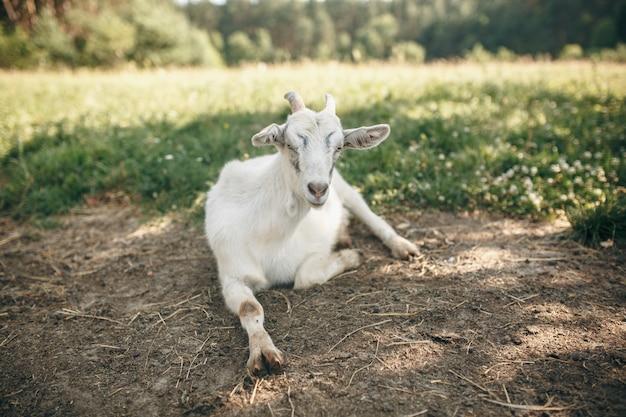 Chèvre sur la verte prairie d'été