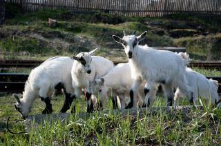 Les chèvres affluent