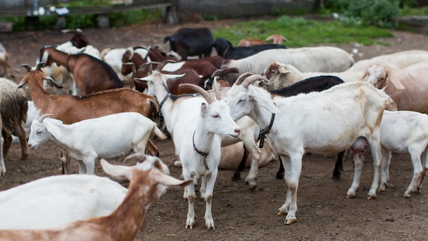 Chèvres à angle élevé à la ferme