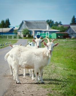 Les chèvres blanches sont sur la route