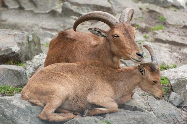 Chèvres brunes sauvages - serow de sumatra (capricornis sumatraensis), également connu sous le nom de serow du sud.