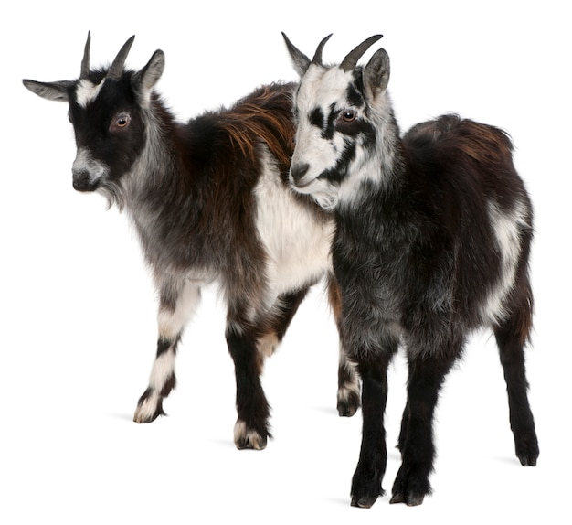 Chèvres communes, capra aegagrus hircus, en face de fond blanc