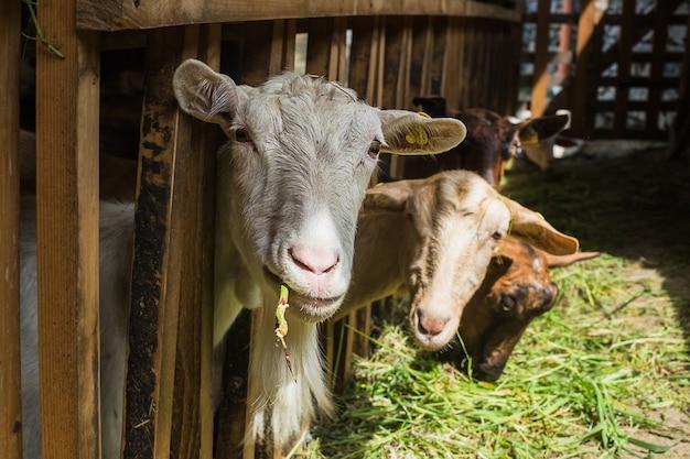 Des chèvres dans une écurie