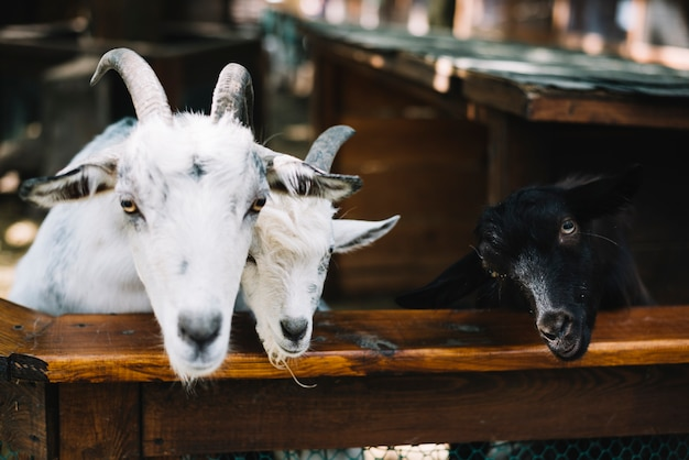Chèvres dans l'étable