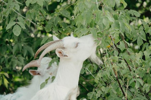 Chèvres dans la nature. une tête de chèvre à cornes blanches sur fond naturel flou. chèvres blanches dans un pré d'une ferme caprine. chèvre. portrait d'une chèvre dans une ferme du village
