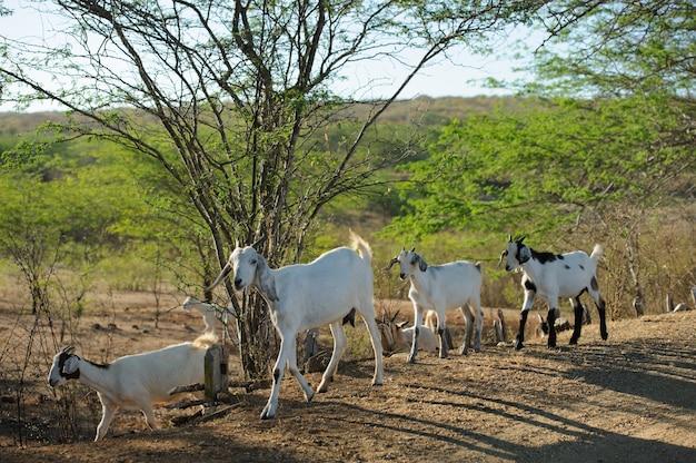 Chèvres dans la région de cariri, cabaceiras, paraiba, brésil le 1er novembre 2012.