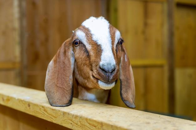 Chèvres debout dans un abri en bois. mignon avec drôle.