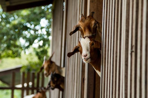 Chèvres à la ferme en thaïlande