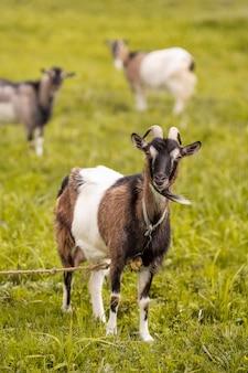 Chèvres, herbe, champ