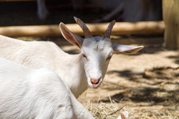 Les chèvres mangeant dans une ferme à rio de janeiro brésil