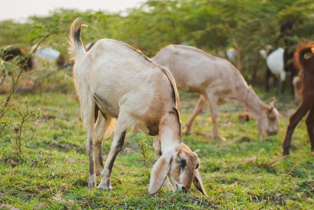 Chèvres mangeant de l'herbe dans le pré vert